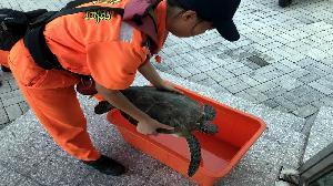 海龜擱淺七股 海巡第一線救援